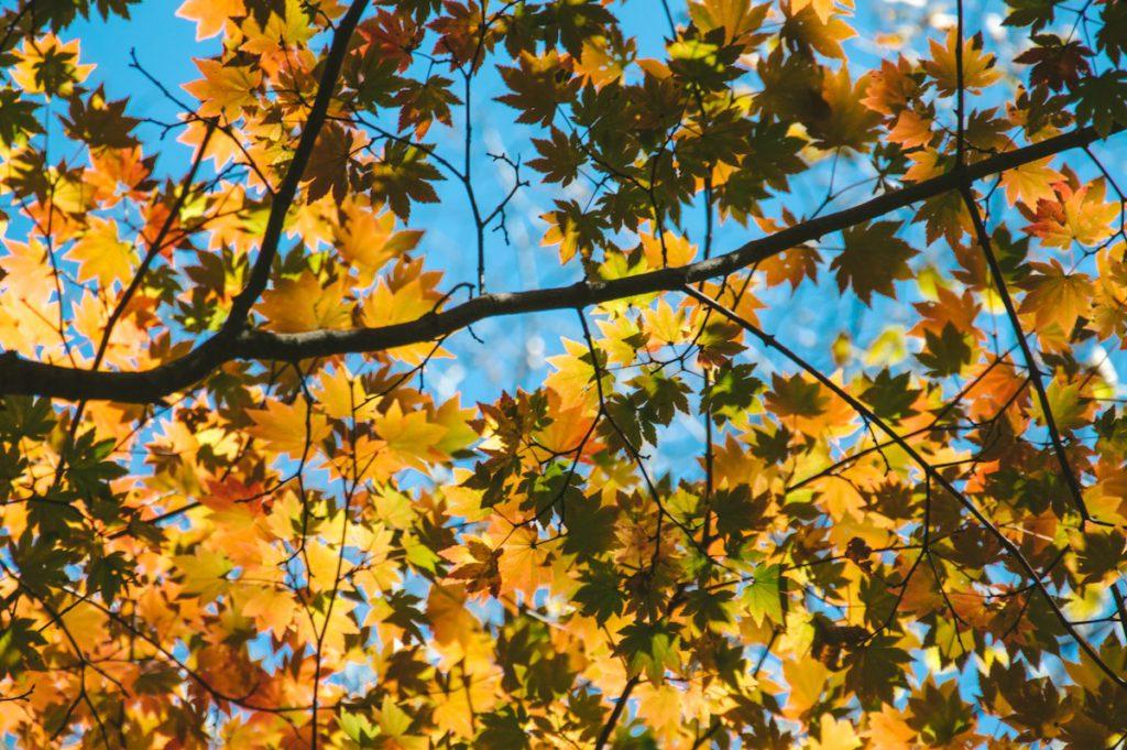 Japonia jesień momiji liście